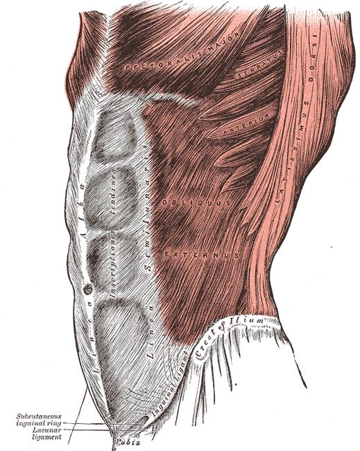 Les muscles de la ceinture abdominale